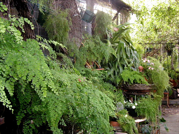 Ferns on the side of the cat house.