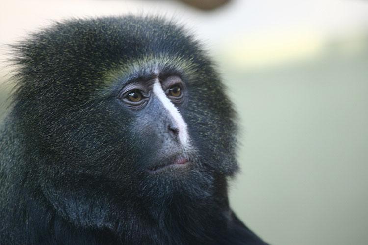 Cercopithecus hamlyni <br>Owl-faced Monkey <br>Uilenkopmeerkat