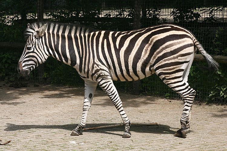 Equus quagga ssp. antiquorum <br>Chapmans zebra