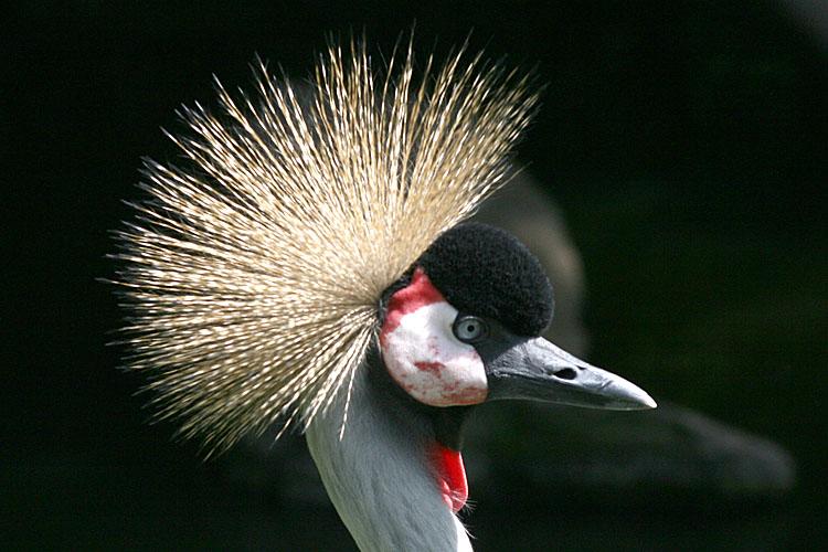 Balearica regulorum <br>Grey crowned crane <br>Kroonkraanvogel