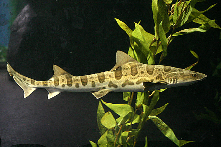Triakis semifasciata <br>Leopardshark <br>Luipaardhaai