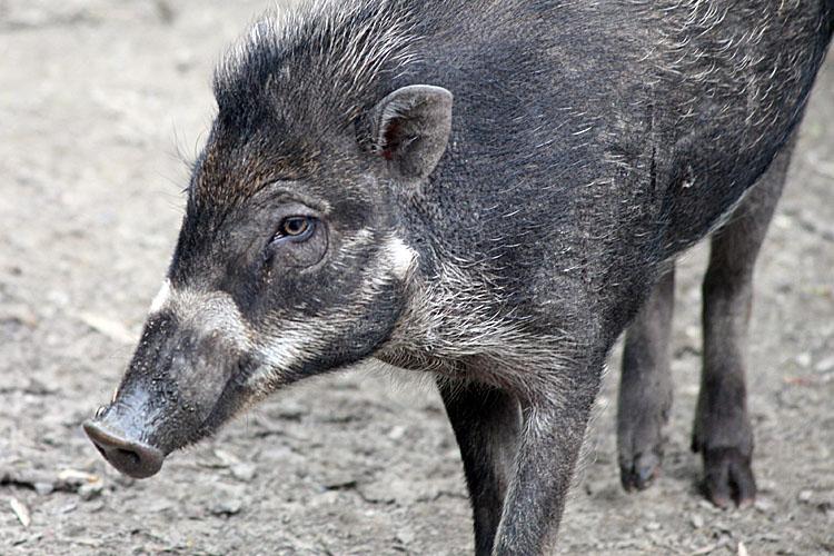 Sus cebifrons <br>Visayan warty pig <br>Visaya wrattenzwijn