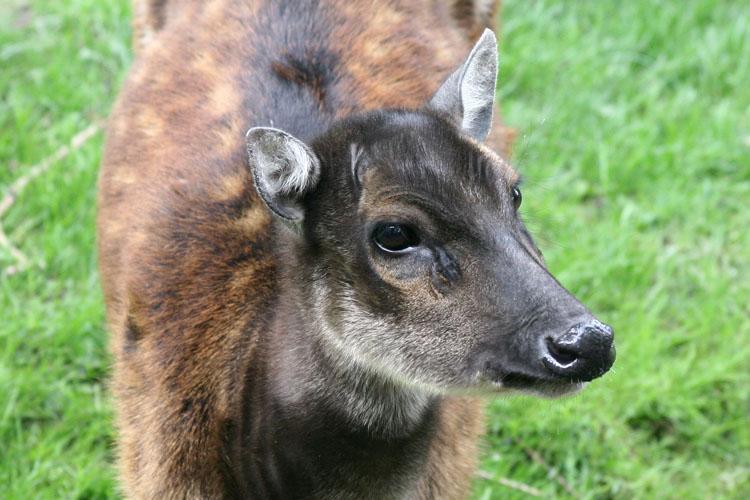 Cervus alfredi <br> Philippine spotted deer <br>Prins Alfredhert
