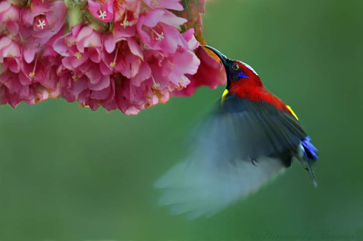 Mrs Goulds Sunbird feeding in flight