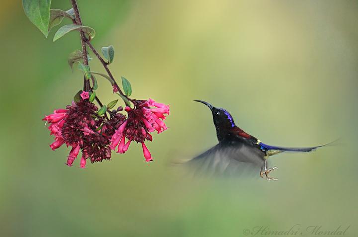 Black-Throated sunbird 3