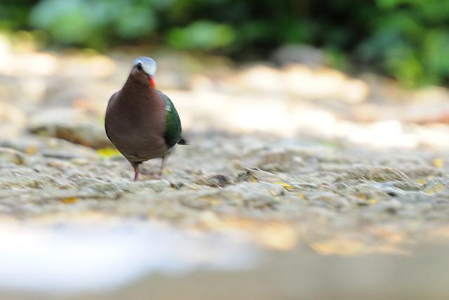 Emerald Dove   ( Chalcophaps indica )
