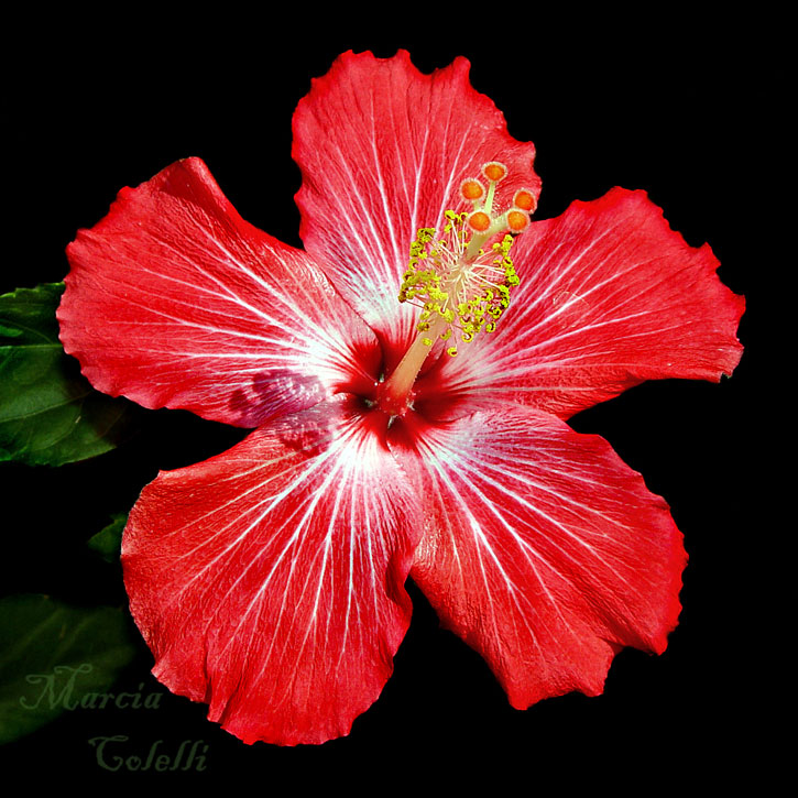 RED HIBISCUS 3688 .jpg