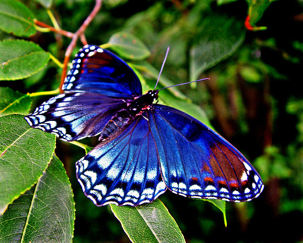 RED SPOTTED PURPLE ADMIRAL BUTTERFLY 9913 a.jpg photo ...