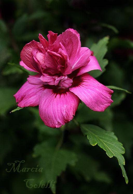 ROSE OF SHARON_2061 x.jpg
