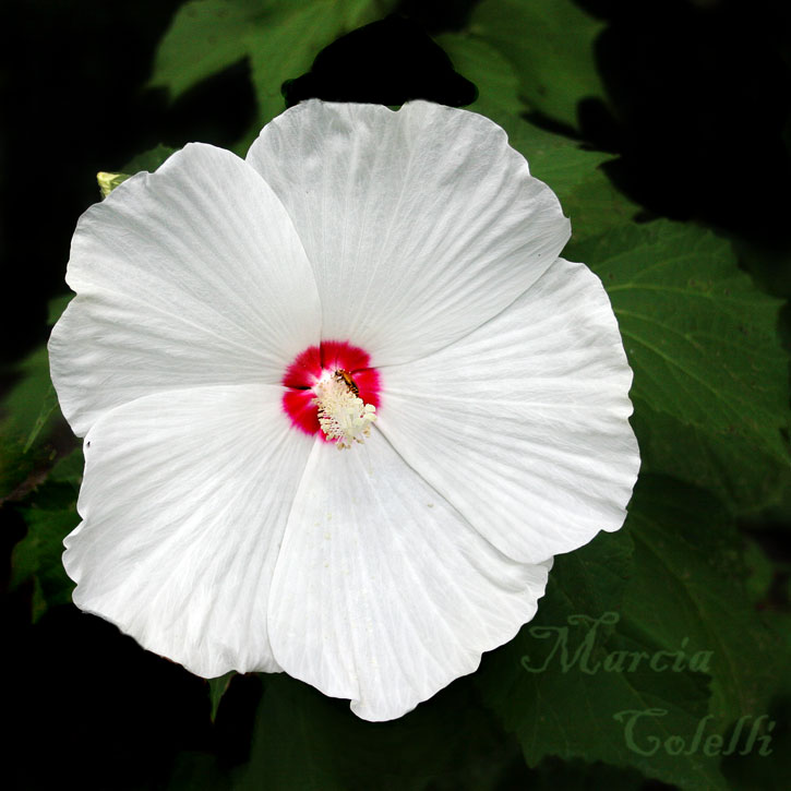 RUBY DOT HIBISCUS_1012.jpg