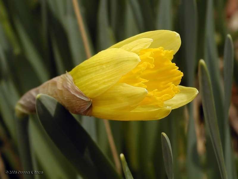 1st Daffodil Blooming, 1-Y-Y