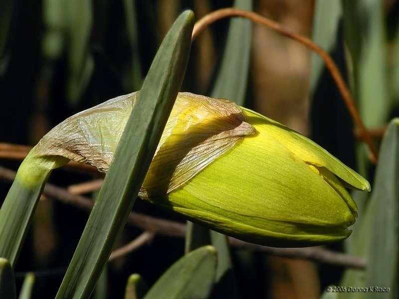 Another Daffodil Bud, Mar 30th