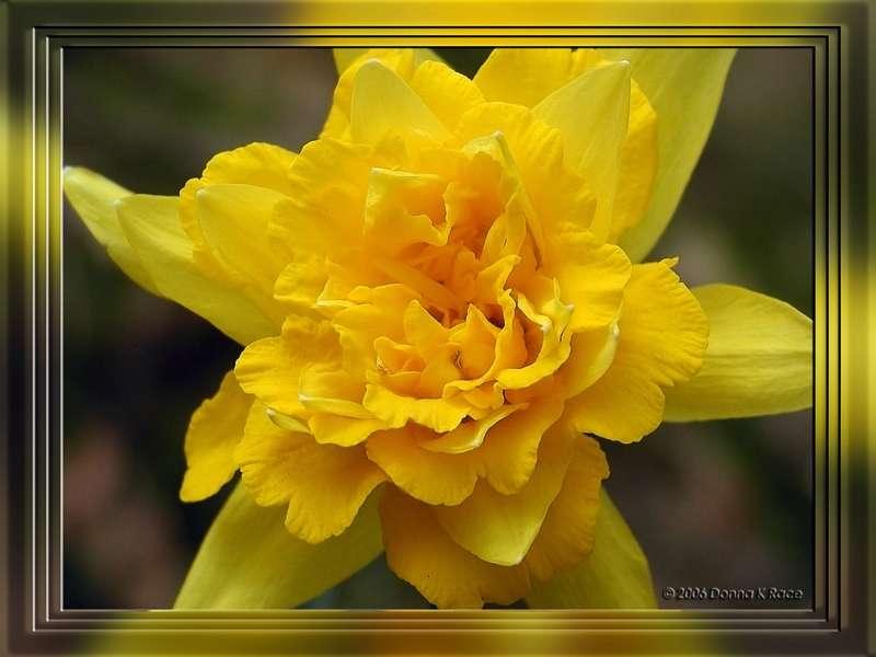 Van Sion Daffodil, Apr 5th