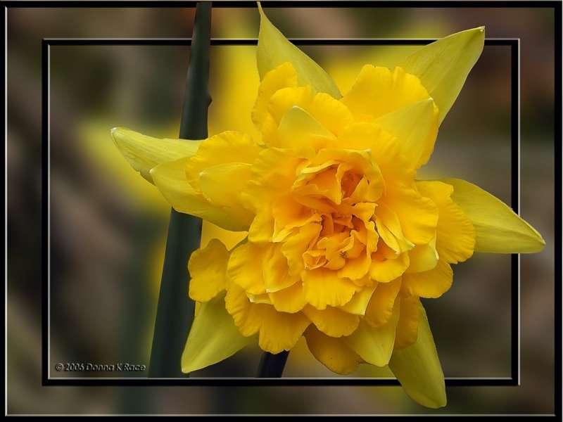 Van Sion Daffodil, OOF, Apr 5th