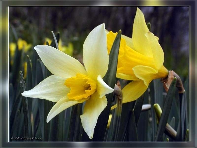 Two Different Daffodils, 2 WY & 1YY, Apr 5th