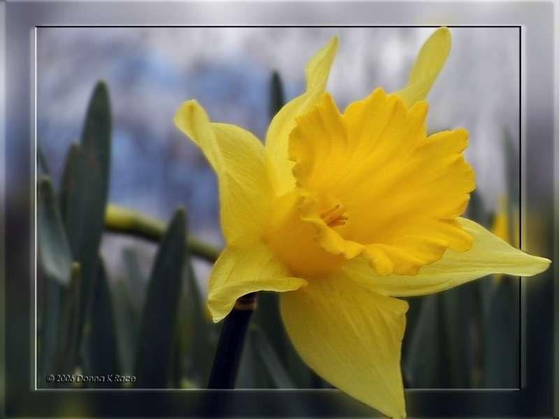Windy Day Daffodil,1 Y Y, Apr 5th