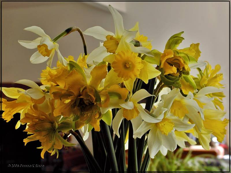 Daffodil Bouquet, Apr 9th