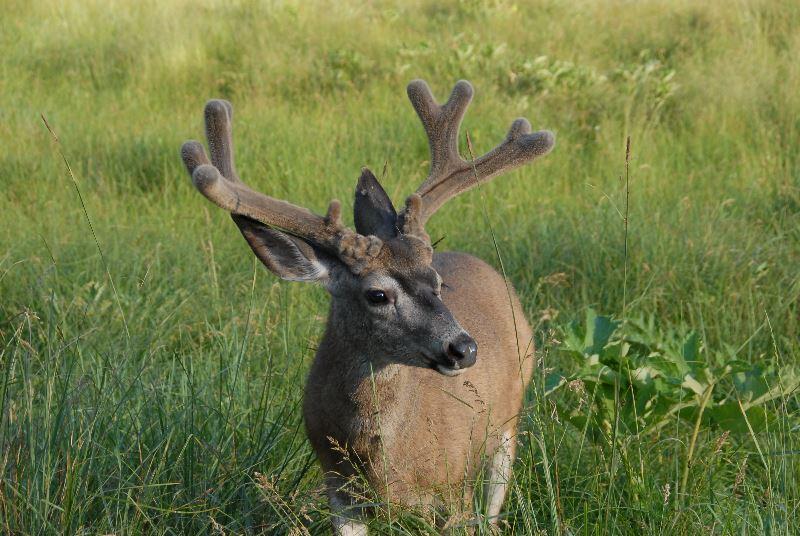 Buck deer in Yosemite Valley