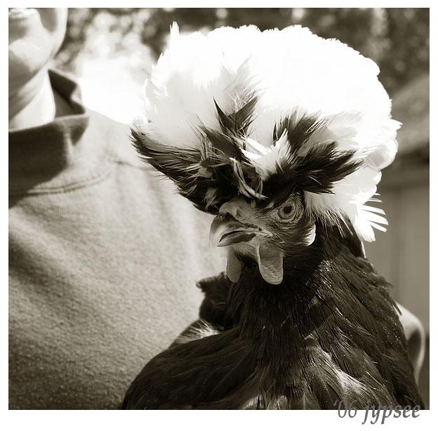 prize polish chicken