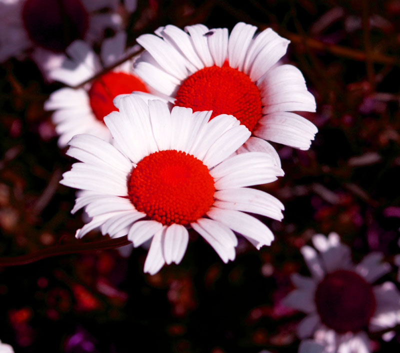 Flower_Mad Daisies_2006.jpg
