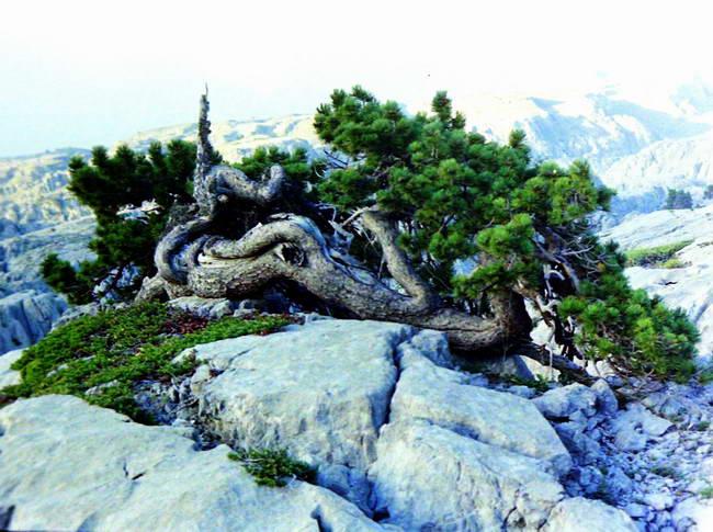 Pin des cimes désertiques et des tempêtes à plus de 2000 m