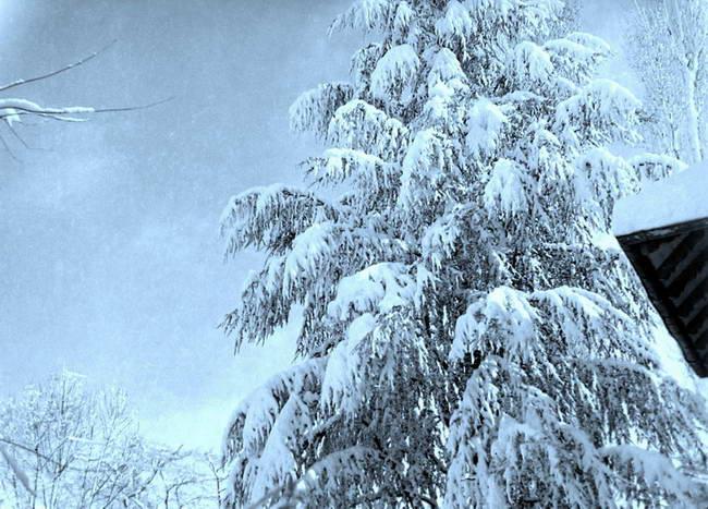 Mon cèdre bleu favori sous la neige