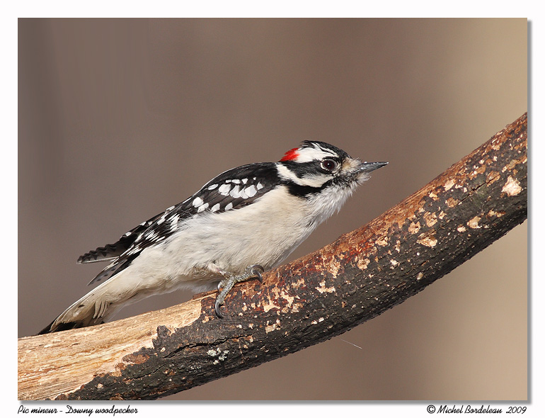 Pic mineur <br/> Downy woodpecker