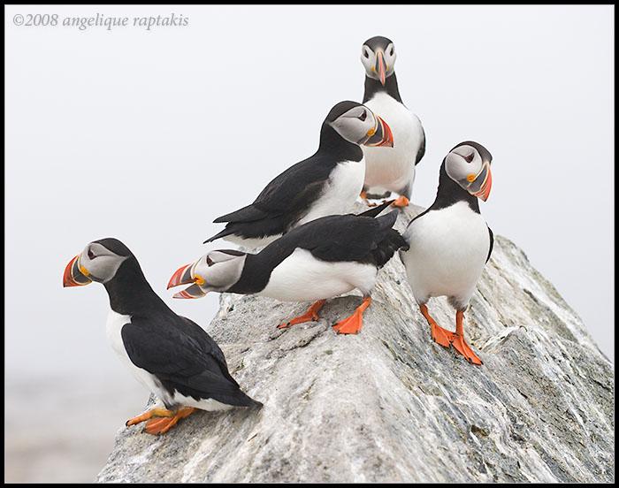 _ADR1867 puffin colony 11x14 wf.jpg