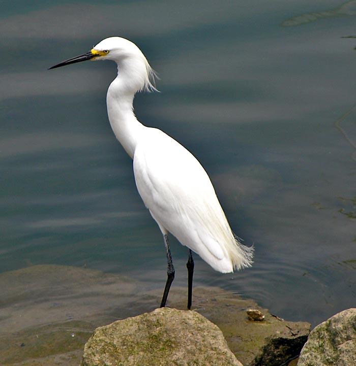Egret at Oceanside Marina