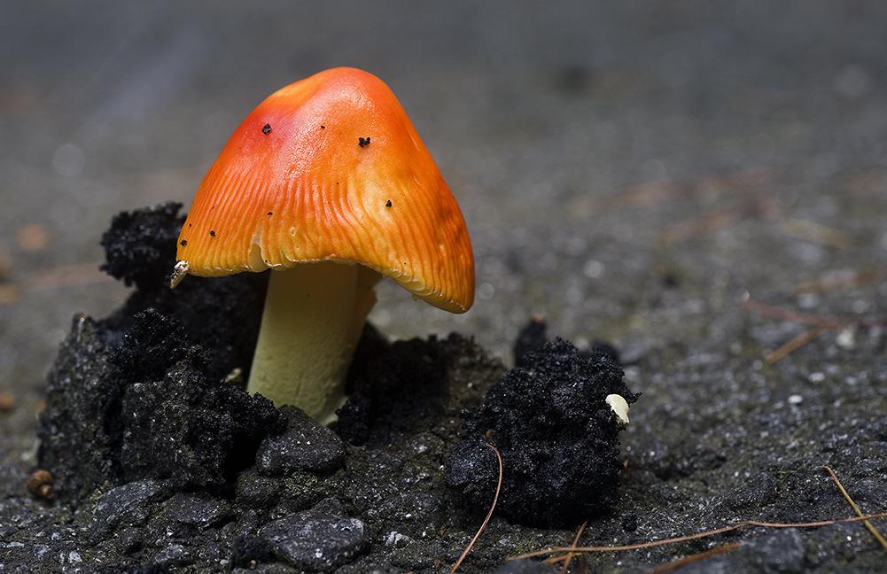Asphalt Penetrating Mushroom!