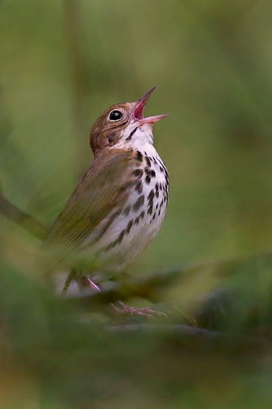 Singing Ovenbird