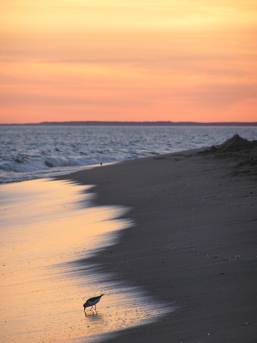 Sandpiper on South Beach at Sunset.jpg