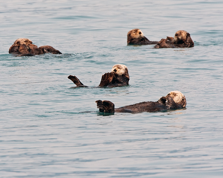 Raft of Sea Otters in Prince William Sound.jpg