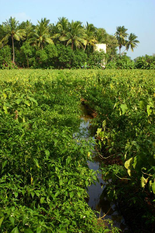Palm Trees and Brinjal Fields, Umayalpuram,Tamil Nadu photo