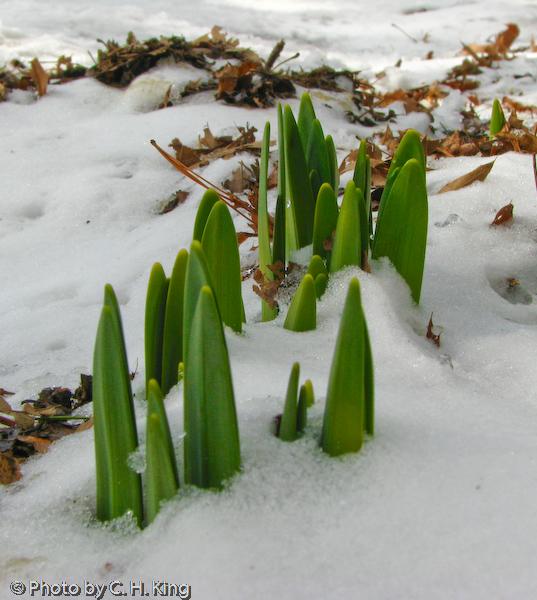 Daffodils! Can spring be far away?