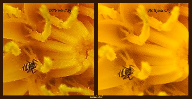 DPP v ACR - Yellow flower - s90 - DPP & ACR into CS5 - IMG_0034
