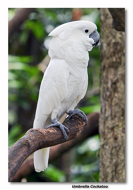 Philippine Cockatoo Species Description