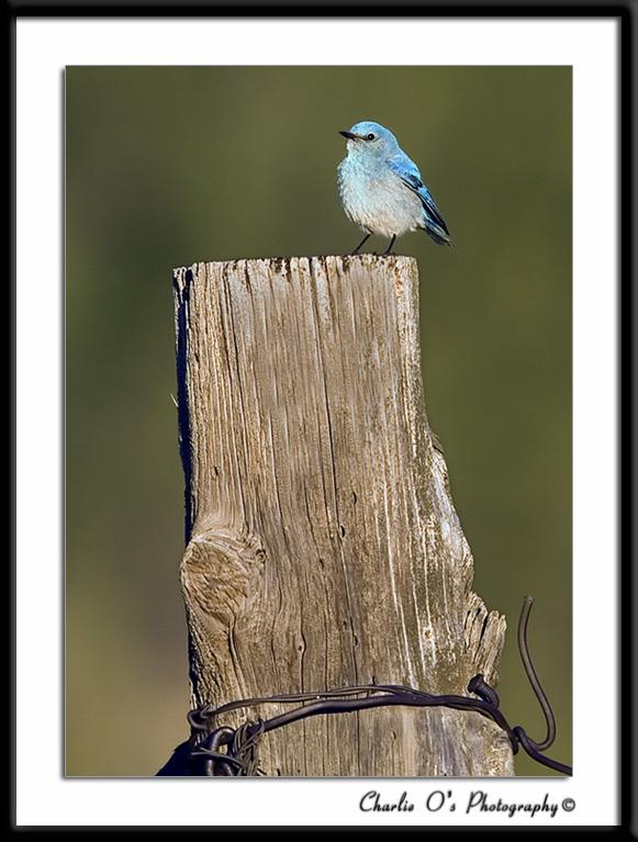 Mountain Bluebird…