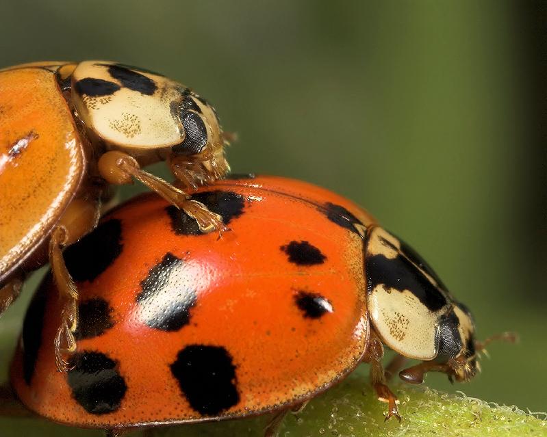 Ladybug Frolic