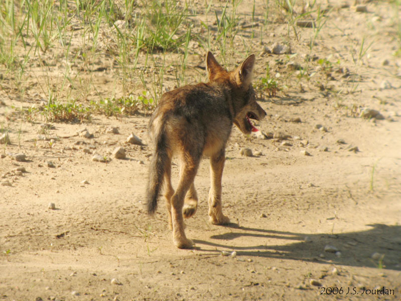 Coyote5770b.jpg