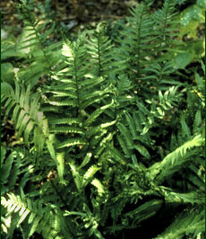 Golden Scaled Male Fern