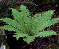 Thick Stemmed Wood Fern