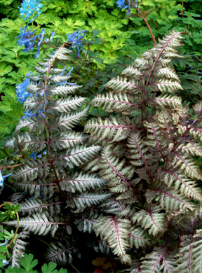 Pewter Lace Japanese Painted Fern