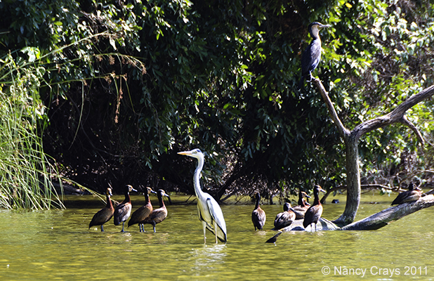 Ducks and Egret or Heron