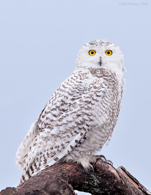 _NW92141 Snowy Owl on Brush Pile Pre Dawn.jpg