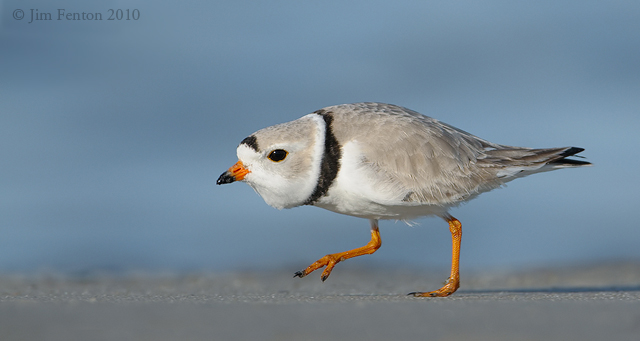 _NW09164 Piping Plover
