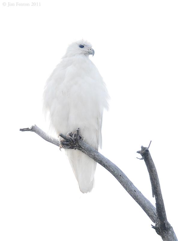 Leucistic Red Tail Hawk