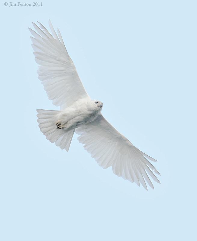 Leucistic Red Tail hawk in Flight_NW01070.jpg