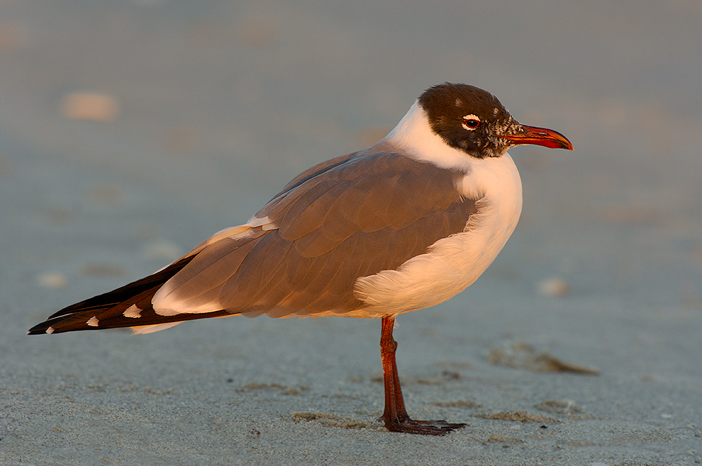 216 Laughing Gull at Sunset