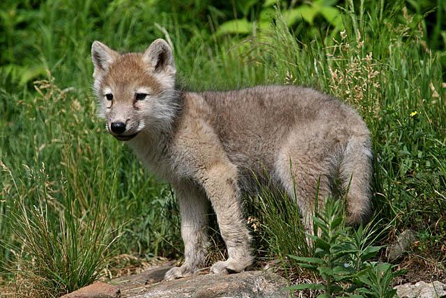 Bébé Loup artique / Baby Artic wolf